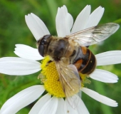 Scheinbienen-Keilfleckschwebfliege w. (Eristalis tenax)