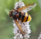 Hornissenschwebfliege M.  (Volucella zonaria) L. Klasing