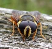 Große Torf-Schwebfliege m. (Sericomyia silentis)