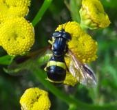Zweiband-Wespenschwebfliege (Chrysotoxum bicinctum)