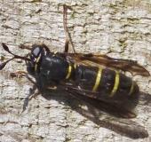 Schwebfliege (Ceriana conopsoides)