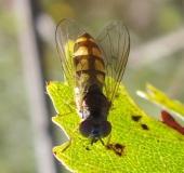 Matte Schwarzkopfschwebfliege (Melanostoma scalare)