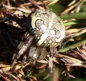 Marmorierte Kreuzspinne (Araneus marmoreus)