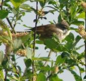 Dorngrasmücke (Sylvia communis)- L. Klasing