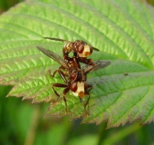 Paarung: Gemeine Breitstirnblasenkopffliege (Sicus ferrugineus)