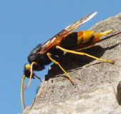 Riesenholzwespe w. (Urucerus gigas)