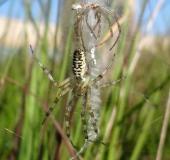 Nach der Häutung Wespenspinne (Argiope bruennich)