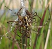 Paarung Wespenspinne (Argiope bruennich)