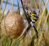 Wespenspinne (Argiope bruennich)