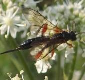 Schlupfwespe (Phaenolobus terebrator)