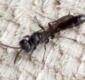 Töpfergrabwespe (Trypoxylon figulus)