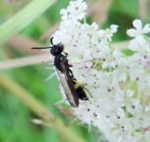 Knotenwespe (Cerceris rybyensis)