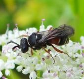 Grabwespe (Nysson maculosus)