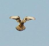 003-Turmfalke-Falco-tinnunculus-L. Klasing