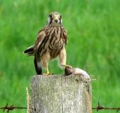 005-Turmfalke-Falco-tinnunculus-L. Klasing