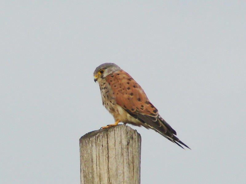 Turmfalke m. (Falco tinnunculus)-L. Klasing
