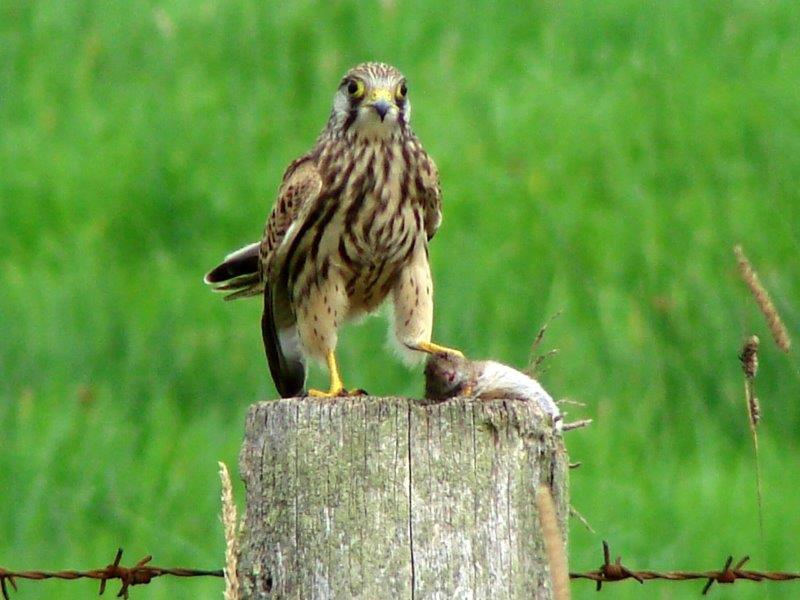 Turmfalke (Falco tinnunculus)-L. Klasing