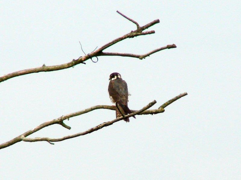 Baumfalke (Falco subbuteo)-L. Klasing