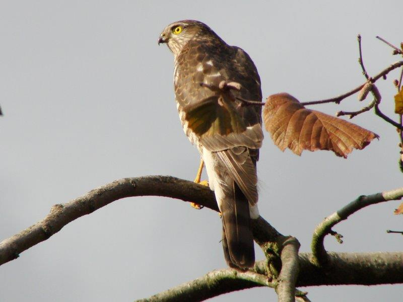 Sperber (Accipiter nisus)-L. Klasing