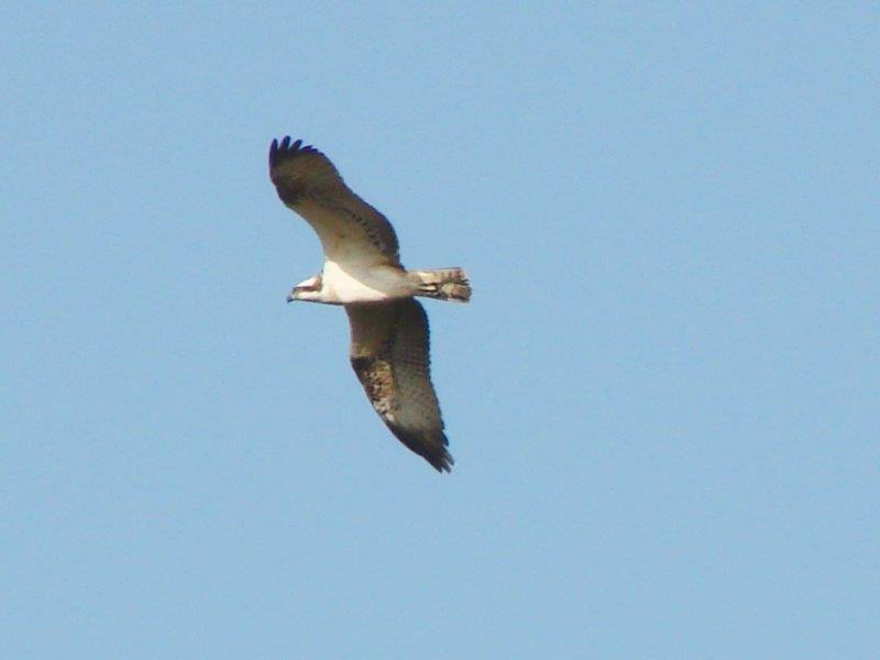 Fischadler (Pandion haliaetus)-L. Klasing