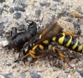 002-Sandknotenwespe-w.-Cerceris-arenaria-mit-Gefurchtem-Dickmaulrüssler-Otiorhynchus-sulcatus-L.-Klasing-