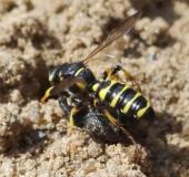 Sandknotenwespe W. (Cerceris arenaria) L. 11-15 mm mit Gefurchtem Dickmaulrüssler (Otiorhynchus-sulcatus)-L. Klasing
