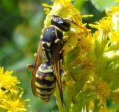 Französische Feldwespe (Polistes dominulus)