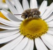 Gemeine Seidenbiene (Colletes daviesanus)