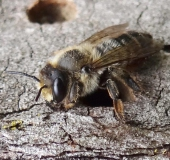 Mörtelbiene (Megachile ericetorum)