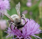 Weidensandbiene (Andrena vaga)