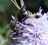 Schenkelbiene (Macropis europaea)