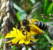 011-Hosenbiene-Dasypoda-hirtipes-L.-Klasing-