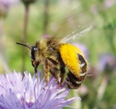 012-Hosenbiene-Dasypoda-hirtipes-L.-Klasing-