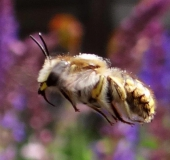 Große Wollbiene m. (Anthidium manicatum)