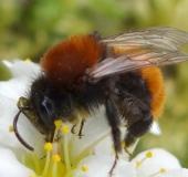 016-Rotpelzige-Sandbiene-Andrena-fulva-L.-Klasing-
