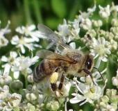 020-Honigbiene-Apis-mellifera-L.-Klasing-