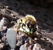 021-Blattschneiderbiene-Megachile-sp.-L.-Klasing-2.