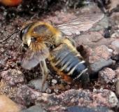 Blattschneiderbiene (Megachile sp.)