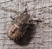 Nymphe: Graue Gartenwanze (Rhaphigaster nebulosa)
