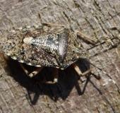 006-Graue-Gartenwanze-Rhaphigaster-nebulosa-L.-Klasing-