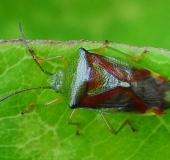 Bunte Blattwanze (Elasmostethus interstinctus)