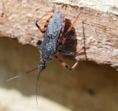 Geringelte Mordwanze (Rhynocoris annulatus)