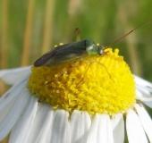 013-Zweifleck-Weichwanze-Stenotus-binotatus-L.-Klasing-