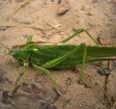 Grünes Heupferd w. (Tettigonia viridissima)