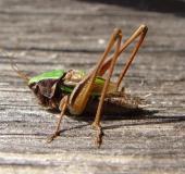 Kurzflügelige Beißschrecke m. (Metrioptera brachyptera)
