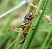 011-Kurzflügelige-Beißschrecke-w.-Metrioptera-brachyptera-L.-Klasing-