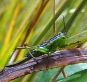 Kurzflügelige Beißschrecke w. (Metrioptera brachyptera)