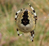 Marmorierte Kreuzsp. (Araneus marmoreus var. pyramidata)