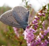 Faulbaum-Bläuling (Celastrina argiolus)-L. Klasing