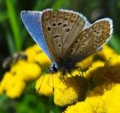 Hauhechel- o. Gemeiner-Bläuling (Polyommatus icarus)-L. Klasing